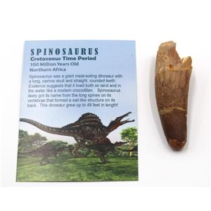 SPINOSAURUS Dinosaur Tooth Fossil 2.612 inch w/ Info Card #15400 4o