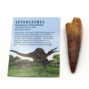 SPINOSAURUS Dinosaur Tooth Fossil 3.229 inch w/ Info Card #15401 4o