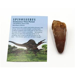 SPINOSAURUS Dinosaur Tooth Fossil 2.490 inch w/ Info Card #15404 4o