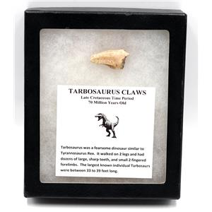 TARBOSAURUS Dinosaur Claw - Real Fossil 1 inch #15408 14o