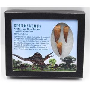 SPINOSAURUS Dinosaur Tooth Fossil Lot of 3 w/ Info Card MDB #15434 14o