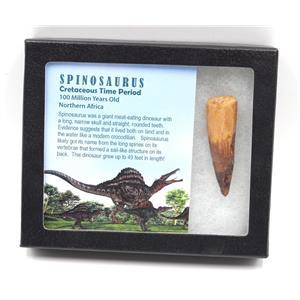 SPINOSAURUS Dinosaur Tooth Fossil 2.540 inch w/ Info Card MDB #15440 14o