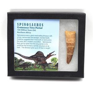SPINOSAURUS Dinosaur Tooth Fossil 2.738 inch w/ Info Card MDB #15443 14o