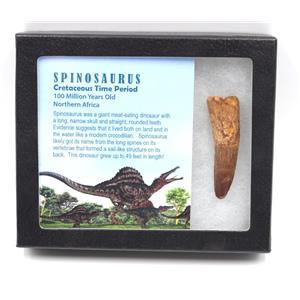 SPINOSAURUS Dinosaur Tooth Fossil 2.538 inch w/ Info Card MDB #15444 14o