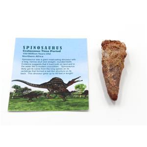 SPINOSAURUS Dinosaur Tooth Fossil 3.381 inch w/ Info Card #15454 5o