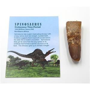 SPINOSAURUS Dinosaur Tooth Fossil 2.645 inch w/ Info Card #15457 5o