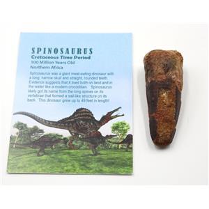 SPINOSAURUS Dinosaur Tooth Fossil 2.610 inch w/ Info Card #15459 5o