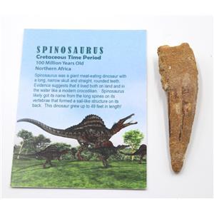 SPINOSAURUS Dinosaur Tooth Fossil 3.186 inch w/ Info Card #15462 5o