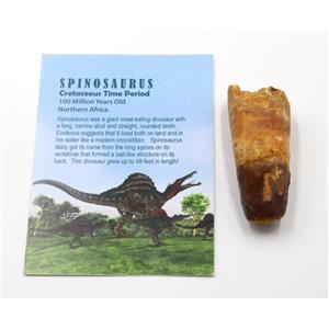 SPINOSAURUS Dinosaur Tooth Fossil 2.580 inch w/ Info Card #15464 5o