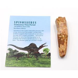 SPINOSAURUS Dinosaur Tooth Fossil 3.126 inch w/ Info Card #15471 5o