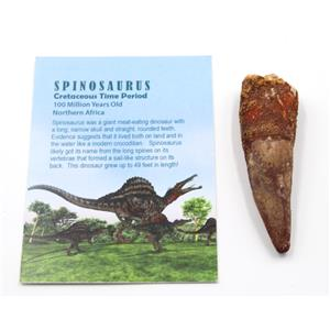 SPINOSAURUS Dinosaur Tooth Fossil 3.211 inch w/ Info Card #15475 5o