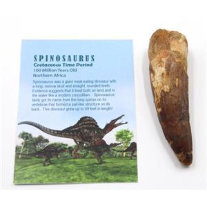 SPINOSAURUS Dinosaur Tooth Fossil 3.726 inch w/ Info Card #15485 5o