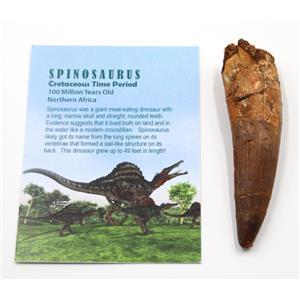 SPINOSAURUS Dinosaur Tooth Fossil 3.741 inch w/ Info Card #15486 5o