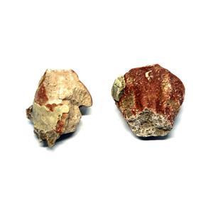 Brain Endocast Fossil Oreodont & Hesperocyon Mammal  #15595 6o