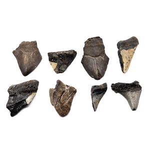 MEGALODON TEETH Lot of 8 Fossils w/8 info cards SHARK #15653 39o