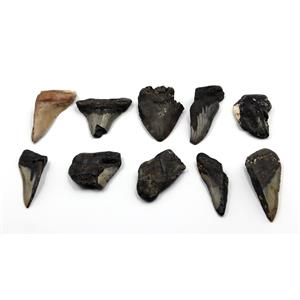 MEGALODON TEETH Lot of 10 Fossils w/10 info cards SHARK #15655 46o