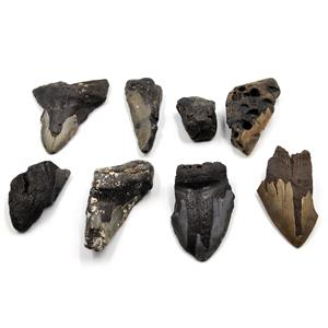 MEGALODON TEETH Lot of 8 Fossils w/8 info cards SHARK #15656 43o