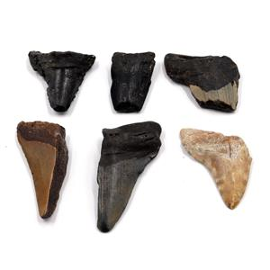 MEGALODON TEETH Lot of 6 Fossils w/6 info cards SHARK #15659 28o