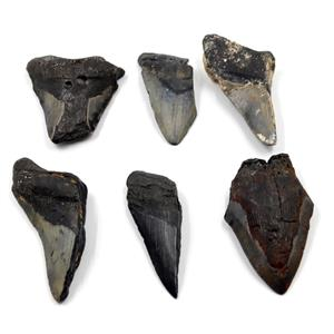 MEGALODON TEETH Lot of 6 Fossils w/6 info cards SHARK #15660 30o
