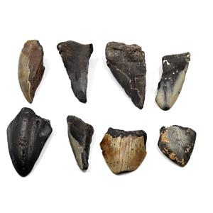 MEGALODON TEETH Lot of 8 Fossils w/8 info cards SHARK #15662 33o
