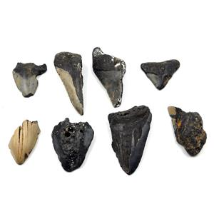 MEGALODON TEETH Lot of 8 Fossils w/8 info cards SHARK #15664 29o