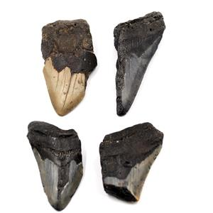 MEGALODON TEETH Lot of 4 Fossils w/4 info cards SHARK #15672 22o