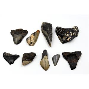 MEGALODON TEETH Lot of 9 Fossils w/9 info cards SHARK #15676 26o