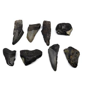 MEGALODON TEETH Lot of 8 Fossils w/8 info cards SHARK #15677 31o