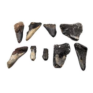 MEGALODON TEETH Lot of 9 Fossils w/9 info cards SHARK #15679 36o