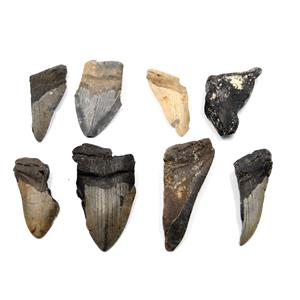 MEGALODON TEETH Lot of 8 Fossils w/8 info cards SHARK #15680 39o
