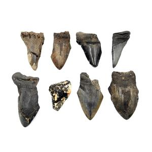 MEGALODON TEETH Lot of 8 Fossils w/8 info cards SHARK #15681 35o