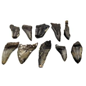 MEGALODON TEETH Lot of 10 Fossils w/10 info cards SHARK #15682 36o