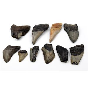 MEGALODON TEETH Lot of 10 Fossils w/10 info cards SHARK #15685 33o