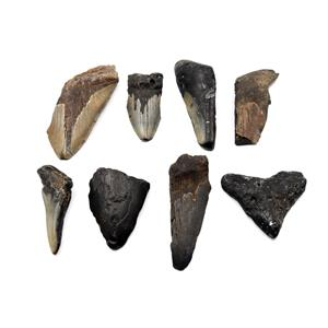 MEGALODON TEETH Lot of 8 Fossils w/8 info cards SHARK #15687 27o