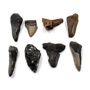 MEGALODON TEETH Lot of 8 Fossils w/8 info cards SHARK #15688 40o