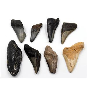 MEGALODON TEETH Lot of 8 Fossils w/8 info cards SHARK #15689 27o