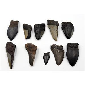 MEGALODON TEETH Lot of 10 Fossils w/10 info cards SHARK #15690 30o