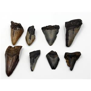 MEGALODON TEETH Lot of 8 Fossils w/8 info cards SHARK #15691 28o