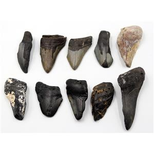 MEGALODON TEETH Lot of 10 Fossils w/10 info cards SHARK #15692 33o