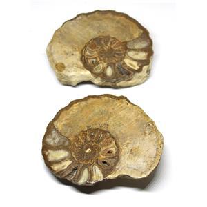 Ammonite Acanthoceras Split Polished Fossil Texas 96 MYO w/label  #16209 39o