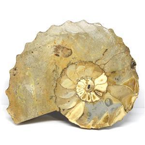 Ammonite Acanthoceras Split Polished Fossil Texas 96 MYO w/label  #16210 37o
