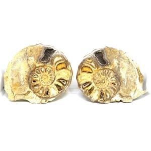 Ammonite Acanthoceras Split Polished Fossil Texas 96 MYO w/label  #16217 22o