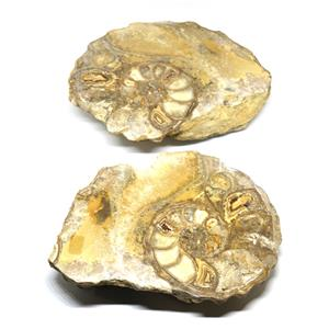 Ammonite Acanthoceras Split Polished Fossil Texas 96 MYO w/label  #16219 46o