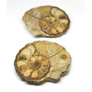 Ammonite Acanthoceras Split Polished Fossil Texas 96 MYO w/label  #16236 27o