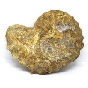 Ammonite Acanthoceras Split Polished Fossil Texas 96 MYO w/label  #16239 52o