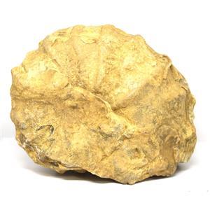 Ammonite Acanthoceras Split Polished Fossil Texas 96 MYO w/label  #16240 67o