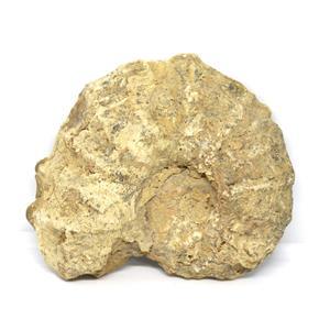 Ammonite Acanthoceras Split Polished Fossil Texas 96 MYO w/label  #16241 13o