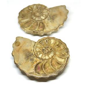 Ammonite Acanthoceras Split Polished Fossil Texas 96 MYO w/label  #16242 36o