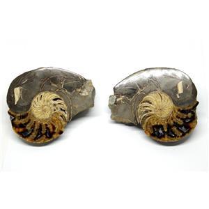 Eutrephoceras Nautilus Fossil Pair Late Cretaceous Montana 17o #16262