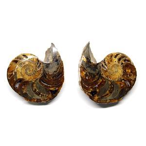 Eutrephoceras Nautilus Fossil Pair Late Cretaceous Montana 8o #16263